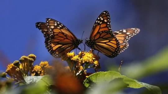 monarch30lf1