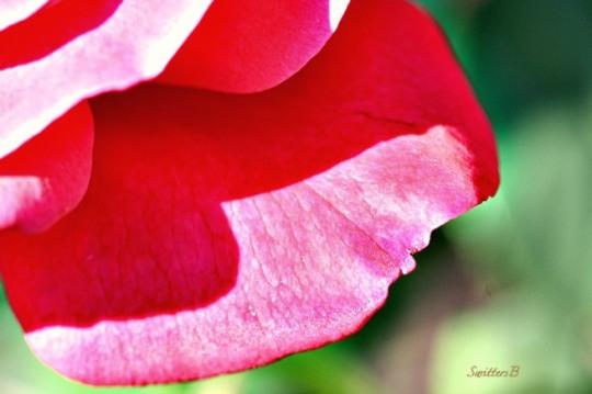 petal-rose-macro-edge-photography-SwittersB