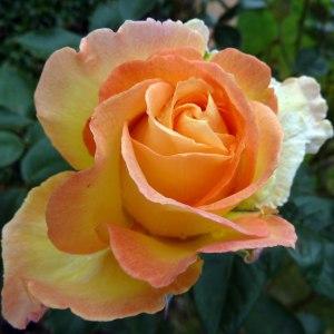 2012_0622 rose for rosie smaller