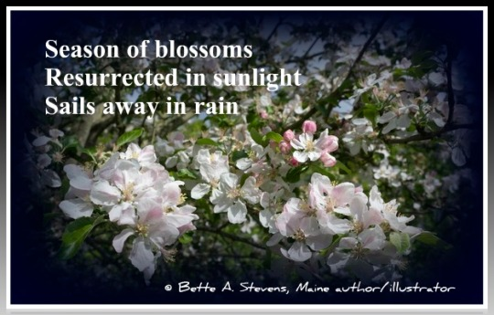 Apple Blossom HAIKU bas 2015