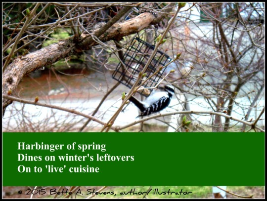 Hairy Woodpecker HAIKU