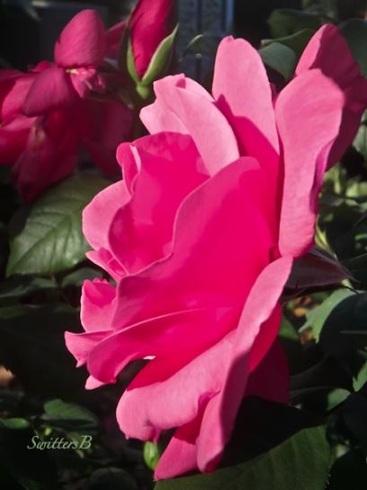 pink rose-morning light-garden-SwittersB