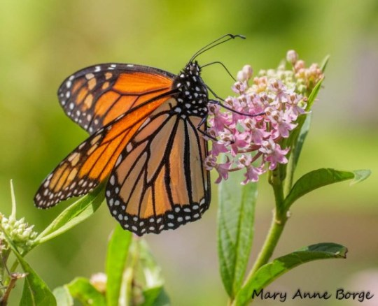 Monarch nectaring on Swamp Milkweed (Asclepias incarnata)