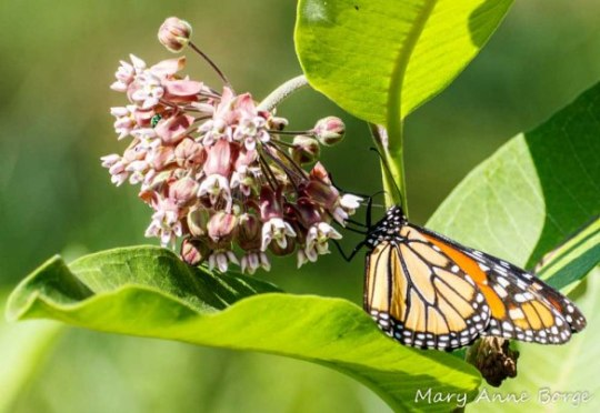 Monarch nectaring on Common Milkweed (Asclepias syriaca)