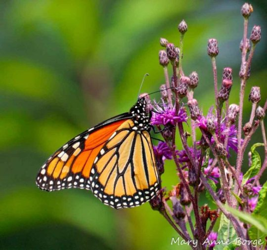 Monarch nectaring on New York Ironweed (Vernonia noveboracensis)