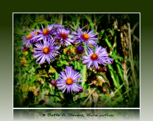 Fall Asters Closeup for POEM bas 2019